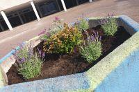 Schmetterlingsfnger_und_Lavendel